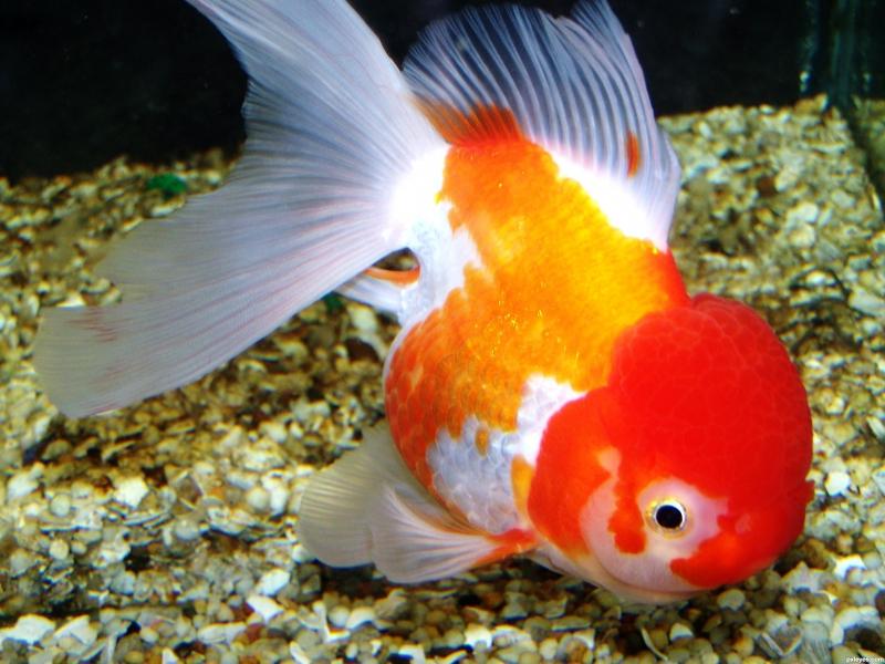 Oranda goldfish for Pesce oranda